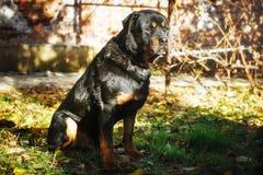 Smutny Rottweiler siedzi outdoors Zdjęcie Royalty Free
