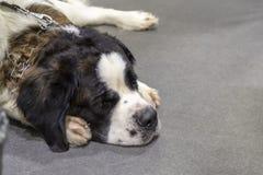 Smutny senbernar pies stawiająca głowa między łapami kosmos kopii obraz royalty free