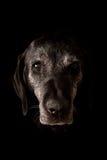 Smutny Stary Psi Patrzejący kamerę Zdjęcie Stock
