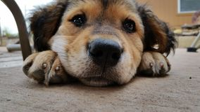 smutny szczeniaczek Zdjęcie Royalty Free
