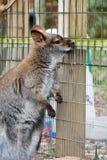 Smutny Wallaby obraz stock