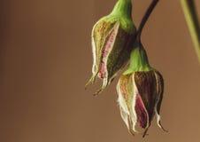 Smutny zatarty róża kwiatu zakończenie makro- Obraz Royalty Free