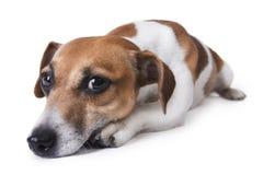 Smutny zrelaksowany pies Zdjęcia Stock