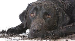 Smutsa ner den leriga hunden Royaltyfri Bild