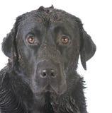Smutsa ner den leriga hunden Arkivbilder