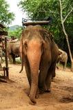 Smutsig elefant som spelar damm Arkivfoton