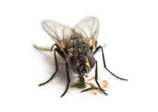 Smutsig gemensam fluga som äter, Muscadomestica, isolat Royaltyfria Bilder