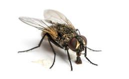 Smutsig gemensam fluga som äter, Muscadomestica som isoleras Royaltyfri Bild