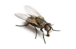 Smutsig gemensam fluga som äter, Muscadomestica som isoleras Royaltyfri Foto