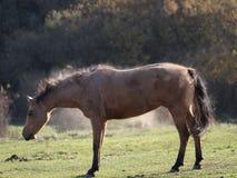 smutsig häst Arkivbilder