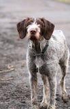 smutsig hund Arkivfoto