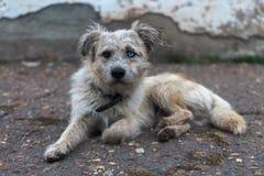 Smutsig hund med en krage och ögon av olika färger arkivfoto