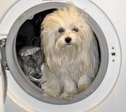 Smutsig liten maltese hund i tvagningmaskinen Royaltyfri Fotografi