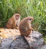 Smutsig vänd mot manlig ToqueMacaqueapa som matar på frukt i upcountry Sri Lanka Arkivfoton