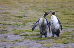 Smutsiga konungpingvin Royaltyfri Fotografi