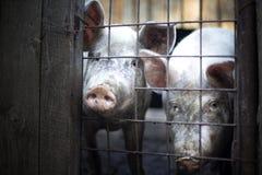 smutsiga pigs två Royaltyfria Bilder