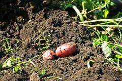 Smutsiga potatisknölar ligger på den grävde-upp jordningen bland den gröna graen Arkivfoton