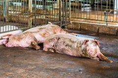 Smutsiga svin för fett i en lantgård Royaltyfria Foton