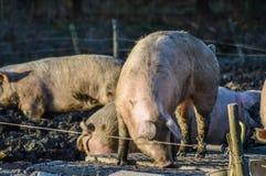 Smutsiga svin som är utomhus- i vinterljus Royaltyfri Foto