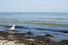 smutsigt hav för strandfågel Royaltyfri Foto