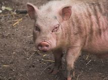 smutsigt little som är piggy Royaltyfri Fotografi