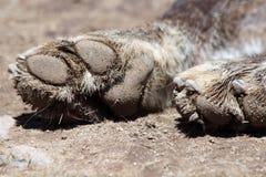 smutsigt tafsar wolfen fotografering för bildbyråer
