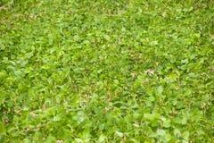 Smyczkowej fasoli pola. Zdjęcia Stock