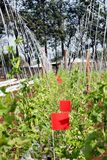 Smyczkowych fasoli plantacja obrazy stock