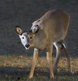 smyga sig för hjortar Arkivbilder