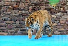 smyga sig tigern Royaltyfri Bild