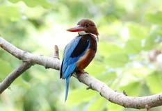 Smyrnensis белого throated kingfisher Halcyon Стоковая Фотография
