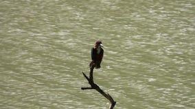 Smyrnensis feliz del martín pescador Throated blanco que se sienta en rama de árbol almacen de video