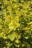 Smyrniumperfoliatum Royalty-vrije Stock Fotografie