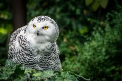 Snowy owl Nyctea scandiaca samice stock photos