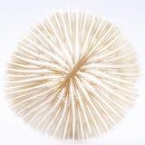 Snäckskal av Fungia som isoleras på vit bakgrund Royaltyfria Bilder