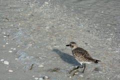 Snäckskal, fågeln och havet på en Florida sätter på land Royaltyfri Foto