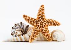 Snäckskal och en sjöstjärna. Arkivbilder