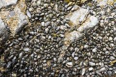 Snäckskal och havsväxt i grunt vatten isolerade den täta hörlurarbilden för black slapp övre white för mikrofonblock arkivfoto