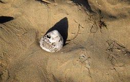 Snäckskal på Crystal Cove State Park Beach, sydliga Kalifornien Royaltyfri Foto