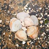 Snäckskal på kiselstenar för ett bakgrundshav Royaltyfri Fotografi