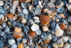 Snäckskal på kusten Arkivfoto