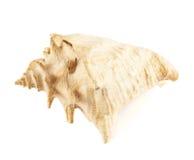 Snäckskal som isoleras över viten Arkivfoto