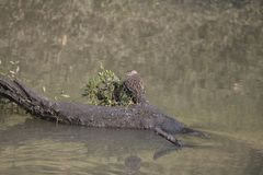 Snäppa för vattenfågel i hans livsmiljö royaltyfria bilder