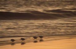 Snäppor på kusten royaltyfri fotografi