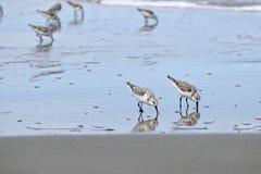 Snäppor på stranden royaltyfria bilder