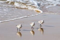 Snäppor som går i unisont på den sydliga Kalifornien stranden Royaltyfri Bild