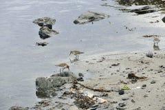 Snålheter i det grunda vattnet på en sandig strand på den Snaefellsnes halvön arkivfoton