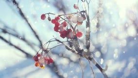 Snö för natur för röd vinter för bär för rönnfilial härlig på en blå bakgrund med lensesignalljuseffekter lager videofilmer