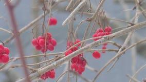 Snö för viburnum för naturvinterbuske stock video