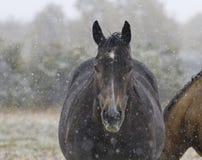 Snö faller försiktigt på häst i Alberta Arkivbild